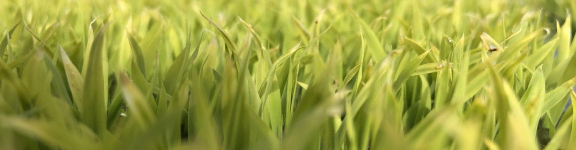 緑化した稲