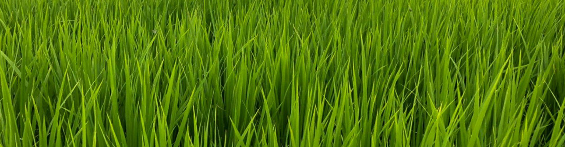 出穂前の稲